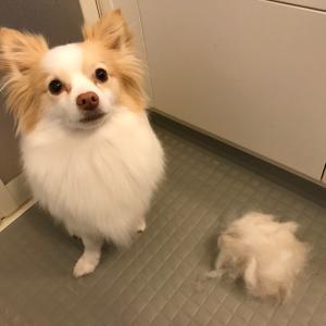 長毛犬のブラシッングを2週間サボったら・・・