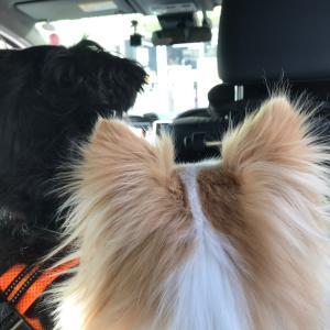コンビニに入ったママを車の中から探すミックス犬