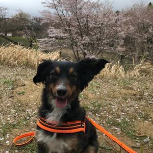 今年最後のお花見散歩かな?桜吹雪浴びてきました!