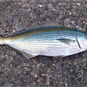 タカベという魚の話