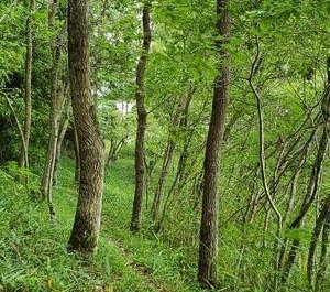 雑木林でクワガタ採集