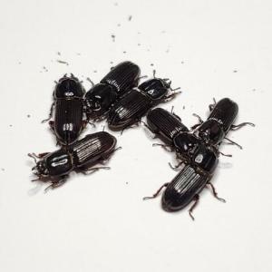 イオウマメクワガタ・6-幼虫期に見るオスとメス