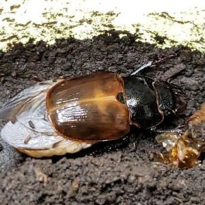 ゲンシミヤマ・3-長い蛹室のわけ