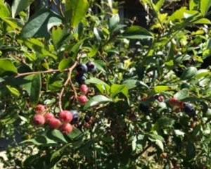 収穫※ブルーベリー