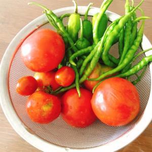 うちの畑はトマトのシーズン!