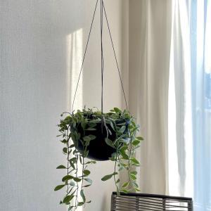 扱いやすさ◎スギベースを使用した観葉植物の植え替え-ディスキディア編-