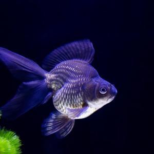 金魚の寿命と死んでしまう原因