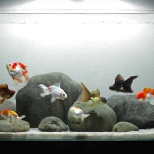 金魚には大きな水槽が必要か、飼える適性数