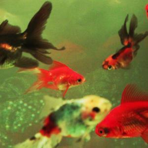金魚は水道水でも飼えますか?カルキ抜きとは