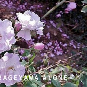 薔薇似の乙女山茶花は長期咲