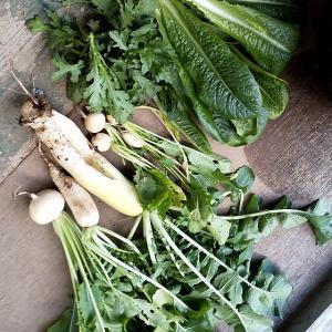 野菜の日照実験してました