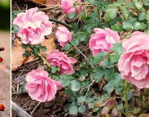 荒れ地でも生き残る薔薇です