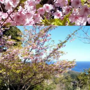 河津桜は海原を背に