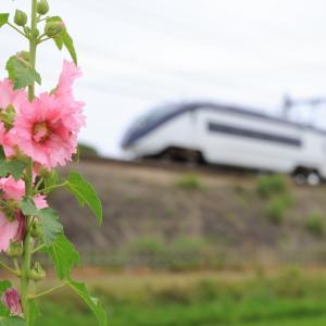 立葵の季節が来た!AEの車窓からは見えたでしょうか・・・?