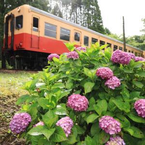 小湊キハ200、紫陽花の季節到来、沿線の咲き具合は???