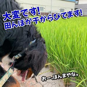 Topics:田んぼ、干からびる