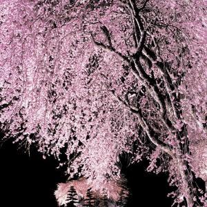 駒ケ根高原、光前寺の桜のライトアップ中止。NIRVASH下平誠も苦しがっているが桜は咲き続ける!