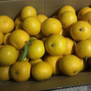 畑になる果実を収穫 〜 八朔(はっさく) 〜
