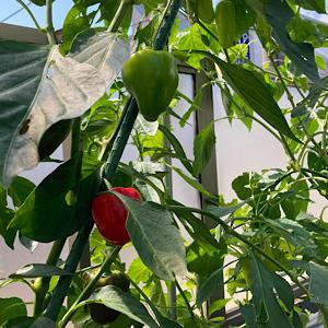 真っ赤なパプリカ初収穫😍