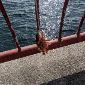 平磯海釣り公園:子ガシラ 爆釣