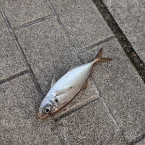 釣行:大阪 シーサイドコスモ 鯖サバ〜