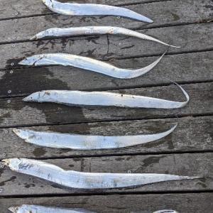 コスモの太刀魚  課題は臭み