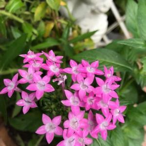 夏ハツラツ星形の花