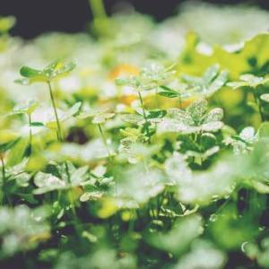 【アイルランドの花】四つ葉?三つ葉?幸せのクローバー【その他固有種紹介】