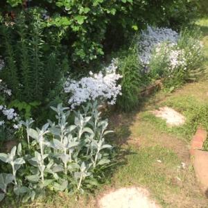 セラスチウムの花