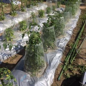 野菜苗の支柱立て