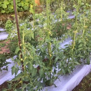 桃太郎トマトの成長