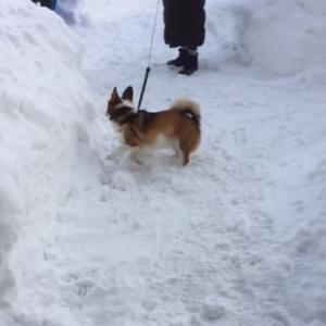 むぎの雪中お散歩
