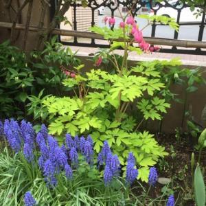 タイツリソウ(鯛釣草)の開花