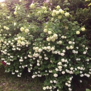 スノーボールの花