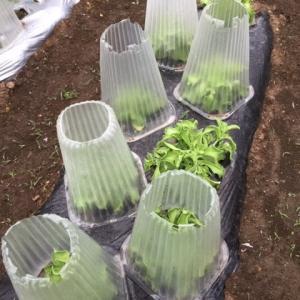 アイスプラントの収穫