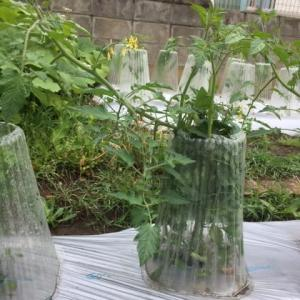 ミニトマトと四葉キュウリの支柱立て