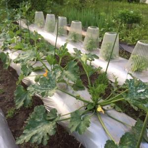 ズッキーニの開花