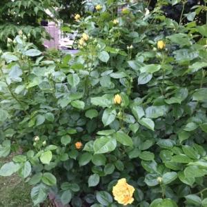 ジュリアチャイルドの花