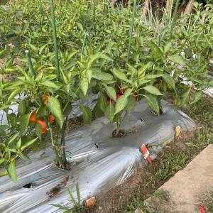 トマピーの収穫