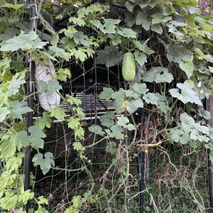 冬瓜の収穫