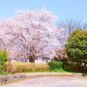 ウォーキングついでに桜を愛でる
