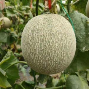 静冈网纹蜜瓜(静岡メロン)1個入り約4.5〜5斤 88元種子を輸入し、中国