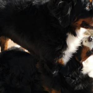 大型犬多頭飼いのススメ