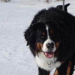 バーニーズと雪遊びを考える part2