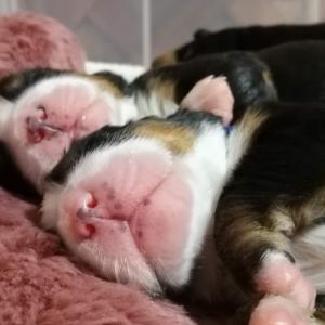 バーニーズマウンテンドッグ 成犬の体重と赤ちゃん時代の体重の関係は??