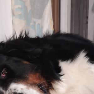 バーニーズマウンテンドッグの骨肉腫 切断手術前日