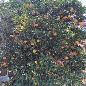 庭の夏ミカンと八朔の収穫