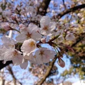 ウワサのお客さま コストコ大食いお花見弁当おすすめ商品(2021年4月2日放送)
