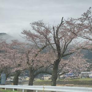 何日か前の美並の桜