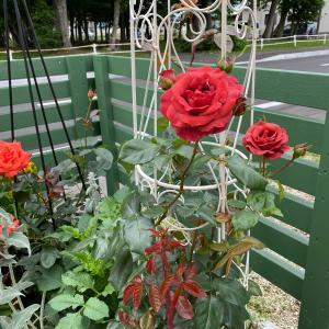 薔薇が咲いた〜真っ赤な薔薇がぁ〜♬